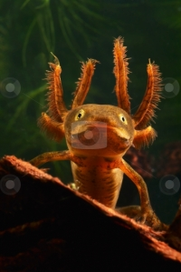 photo of larva crested newt